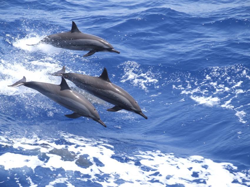 Delfine springen in den Wellen