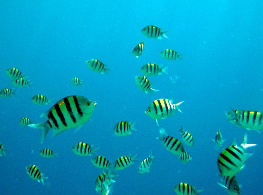 Zabargad Hausriff, Zarbagad,Ägypten,Feldwebelfische,Abudefduf vaigiensis