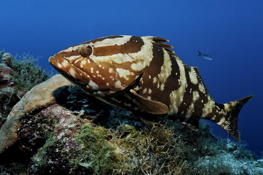 Aqua Cat, Bahamas, Zacki, Zackenbarsch