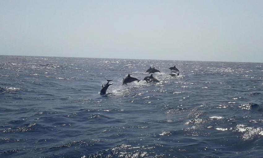 Dolphins on the way, Coraya Divers, Coraya Beach, Marsa Alam, Ägypten, Marsa Alam und südlich