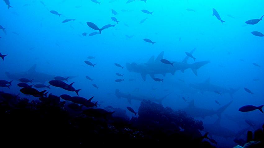 Galapagos, Galapagos Allgemein,Galapagos,Ecuador,Hammerhaie