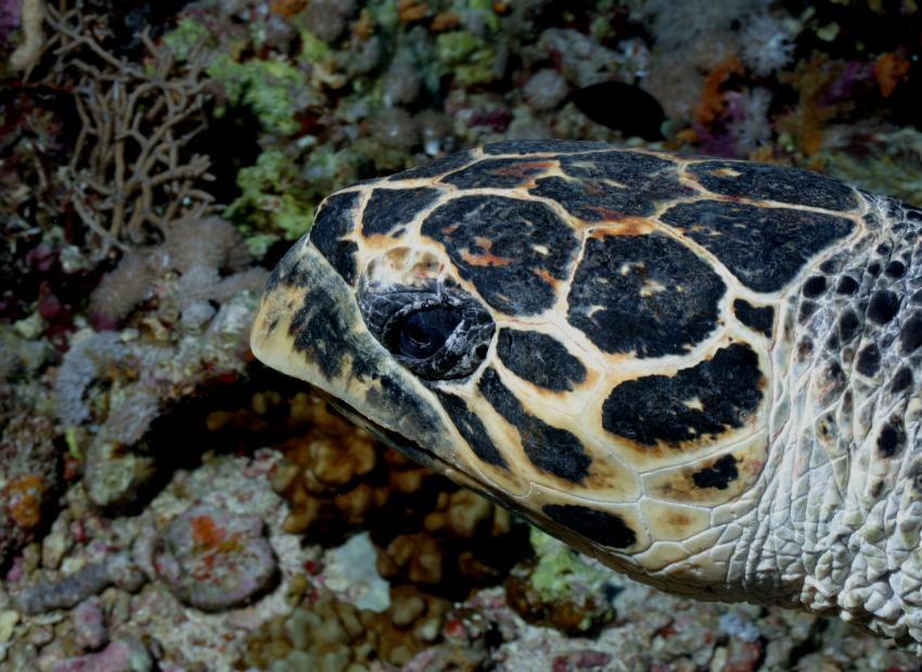 Nordtour von Hurgada bis Ras Mohammed, Nordtour von Hurgada bis Ras Mohammed,Ägypten,Meeresschildkröte