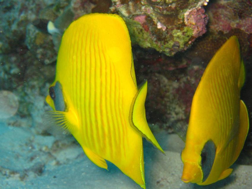 Shedwan Riff, Shedwan Reef,Hurghada,Ägypten,Zitronen-Maskenfalter