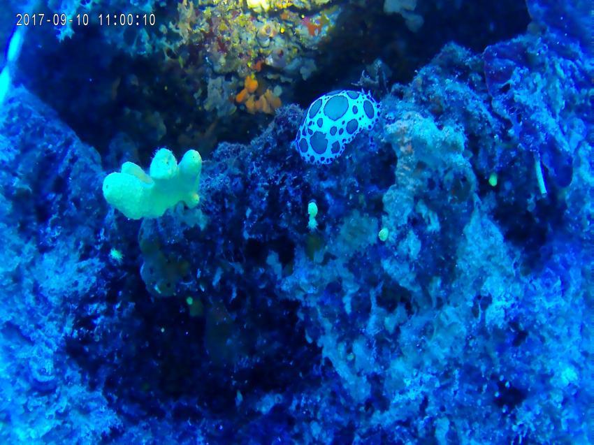 blue slug, slug, schnecke, Diving Center Dolphin, Bol, Insel Brac, Kroatien