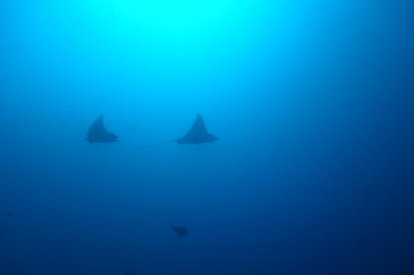 Eagle Rays, Sea Retreats Dive & Watersports, Thulusdhoo, Malediven
