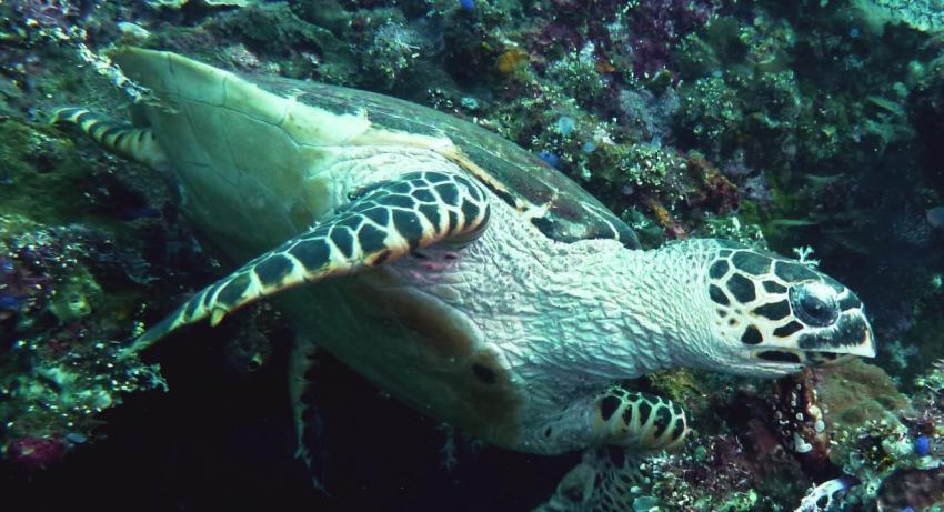 Schildkröte, Teluk Karang Dive & Spa Resort Bali, Indonesien, Bali