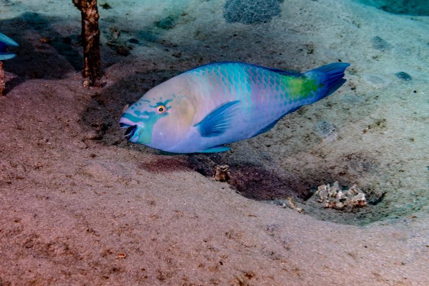 SWD_Hausriff_Madinat Makadi_5, Papageifisch, Rotes Meer, Tauchen Ägypten Makadi Bay, Scuba World Divers Makadi Bay, Ägypten, Hurghada