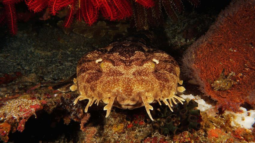 Wobbegong - Alami Alor Dive Resort, Wobbegong, Alami Alor Dive Resort, Indonesien, Allgemein