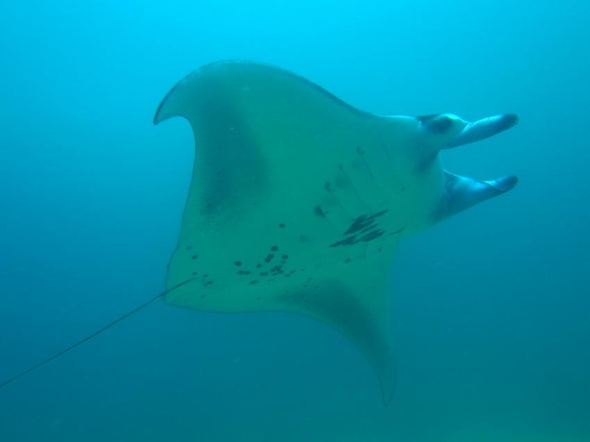 Manta, Nunukan Island Resort, Extra Divers, Indonesien, Allgemein