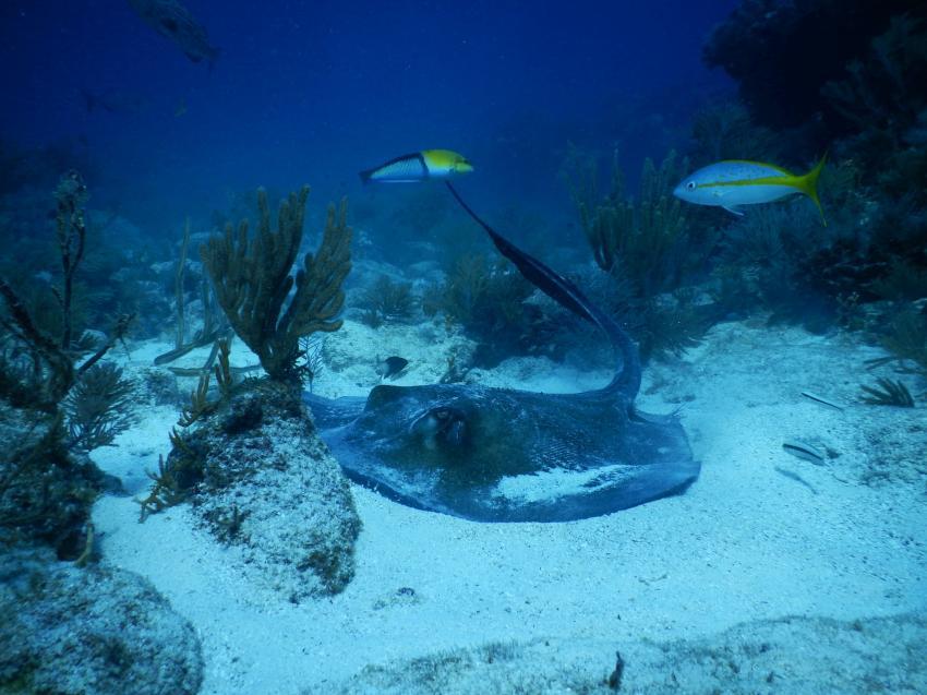 Stingray ( Stachelrochen ) am Elbow Reef , Reef Tauchgänge, Sons of Poseidon, Key Largo, USA, Florida