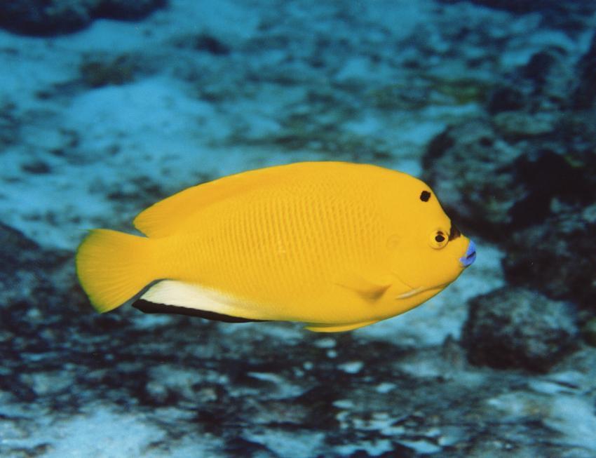 Insel Mahé, Mahé,Seychellen,Dreipunkt-Kaiserfisch,gelb,knallgelb,blaue Lippen