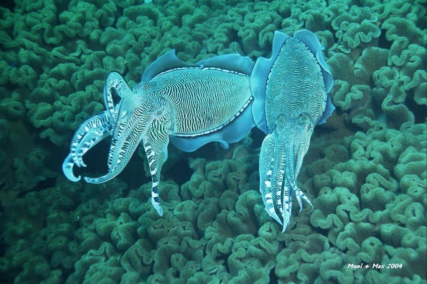 Daymaniyat Islands, Daymaniyat Inseln,Oman,Sepia,Tintenfisch,Paar