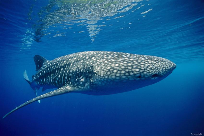 Whale Shark on Vadoo
