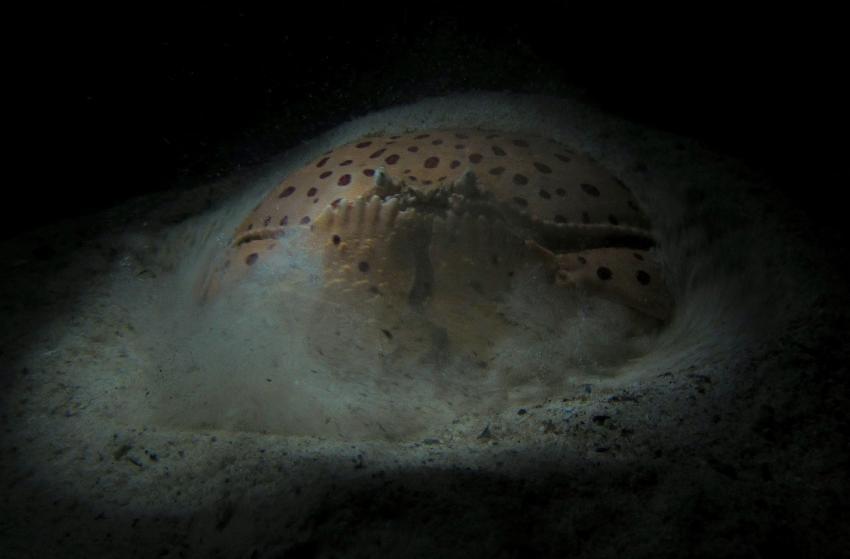 Seaquest Hausriff Nachttauchgang, Moalboal,Philippinen