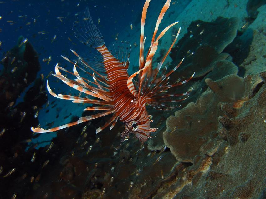 Aberratin Dive Club, Hausriff, Aberratin Dive Club,Hausriff,Philippinen,Skorpionsfische,Rotfeuerfisch
