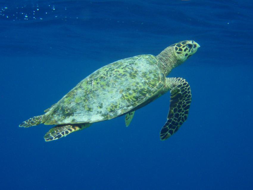 Helengeli, Helengeli,Malediven,Schildkröten,Meeresschildkröte