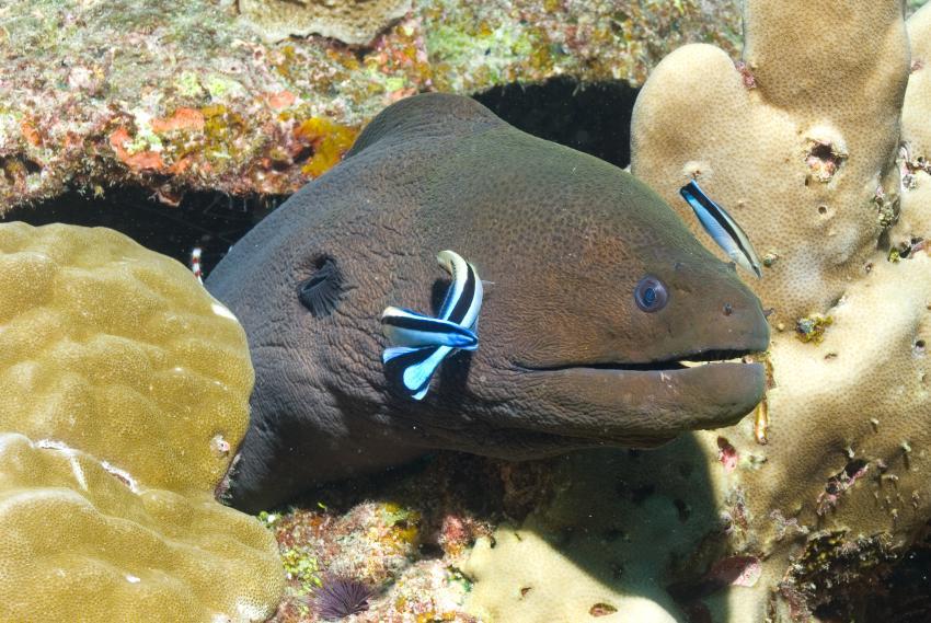 SY Siren Tauchsafari südliche Atolle, Tauchsafari südliche Atolle,Malediven,Riesenmuräne,Putzerfische,Muräne