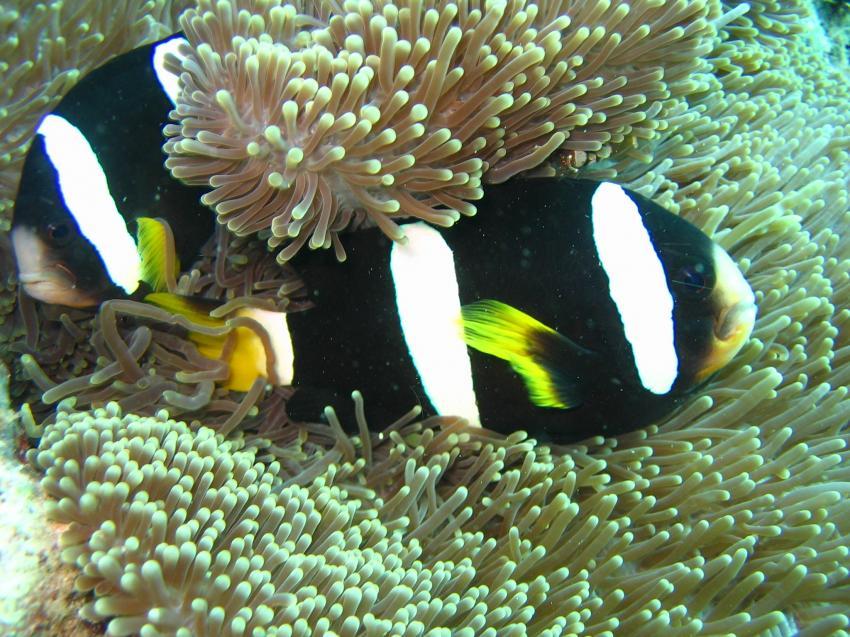 Maaya Thila, Maaya Thila,Malediven,Anemonenfisch,nemo,anomone