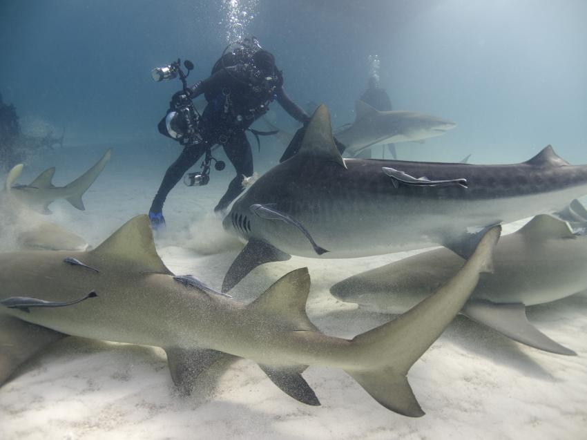 Grand Bahama, Grand Bahama,Bahamas,Haie,Taucher,brenzliche Lage