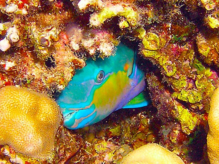 Safari südtour, Daedalus Riff,Ägypten,Papageifisch