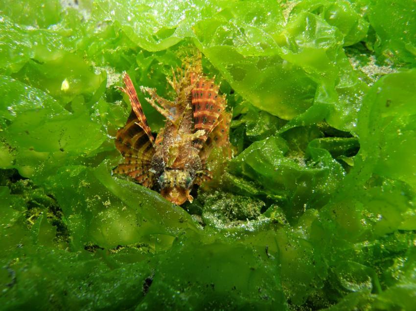 Secret Bay, Secret Bay,Bali,Indonesien,Skorpionsfische,Drachenkopf