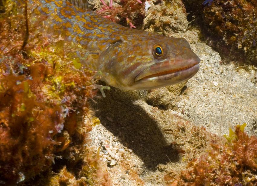 Bequia, Bequia,St. Vincent und die Grenadinen,Eidechsenfisch