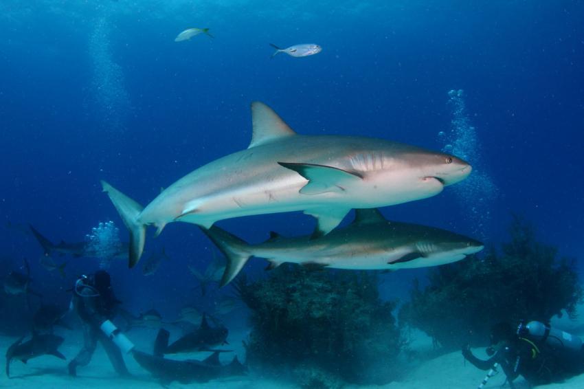 Hai, Shark, Reef Oasis Viva Bahamas, Grand Bahama, Bahamas