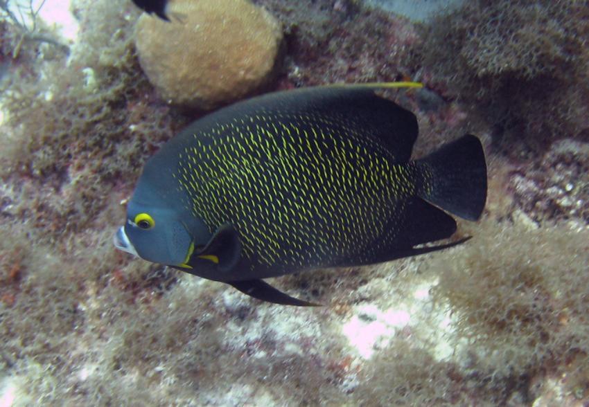 rund um West Punt, West Punt,Curaçao,Niederländische Antillen,Franzosen-Kaiserfisch