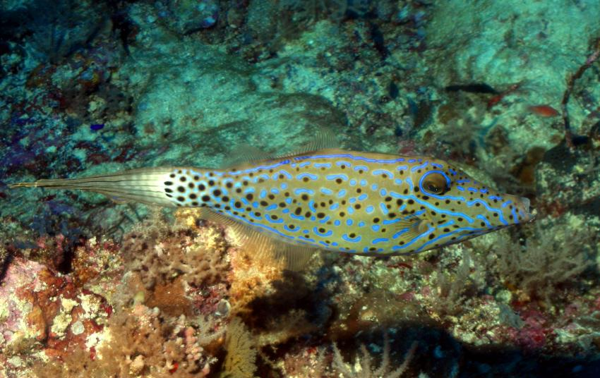 Palau Aggressor 2, Palau und Yap allgemein,Palau,Feilenfisch