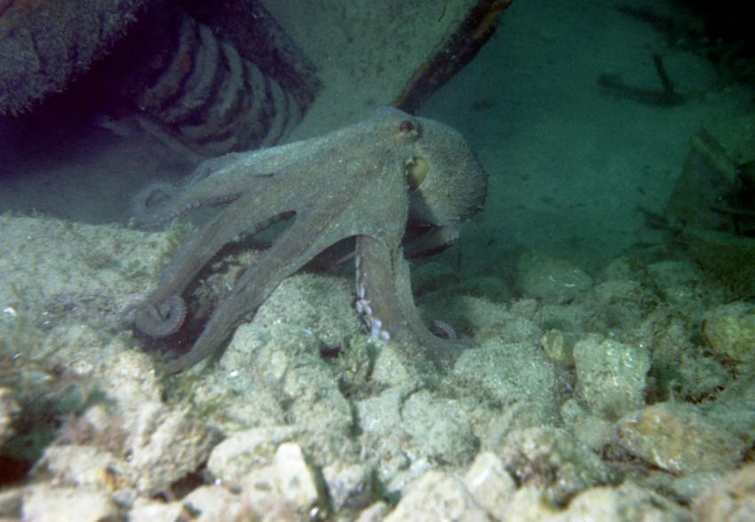 Tamariu bei Stolli, Tamariu,Costa Brava,Spanien,Krake,Oktopus