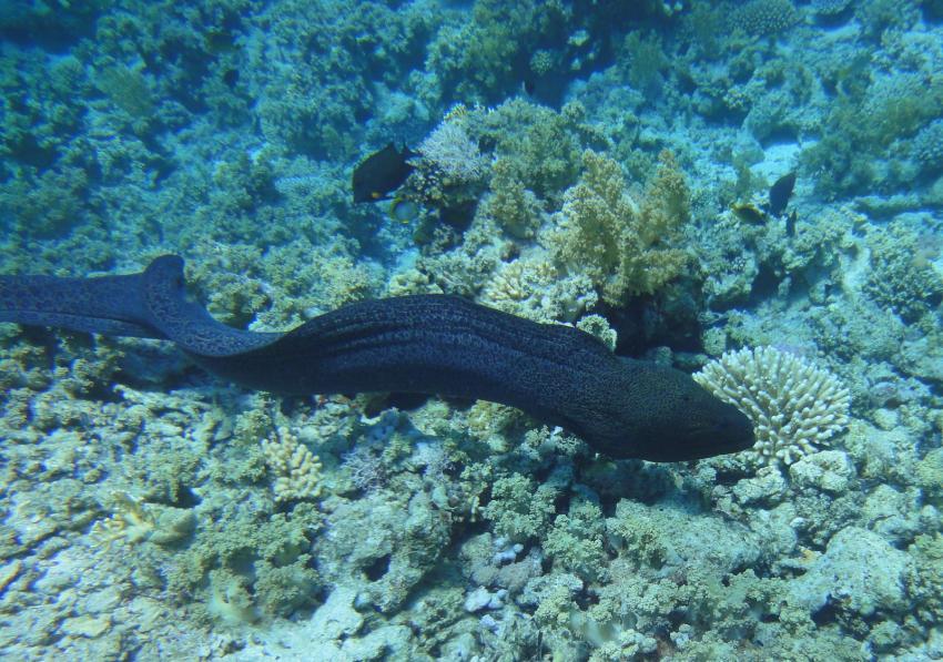 Mai 2011, Sharm el Sheikh-bei Subex,Ägypten,Muräne,Muraenidae,Riesenmuräne,freischwimmend