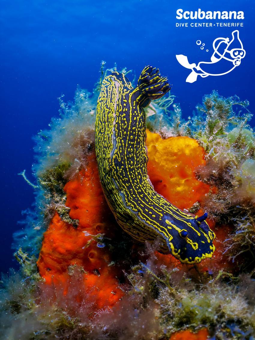 variable Nachtschnecke, eines der größeren Nudibrancios in Radazul, Scubanana, Radazul, Teneriffa, Kanarische Insels, Scubanana Dive Center, Teneriffa, Spanien, Kanaren (Kanarische Inseln)