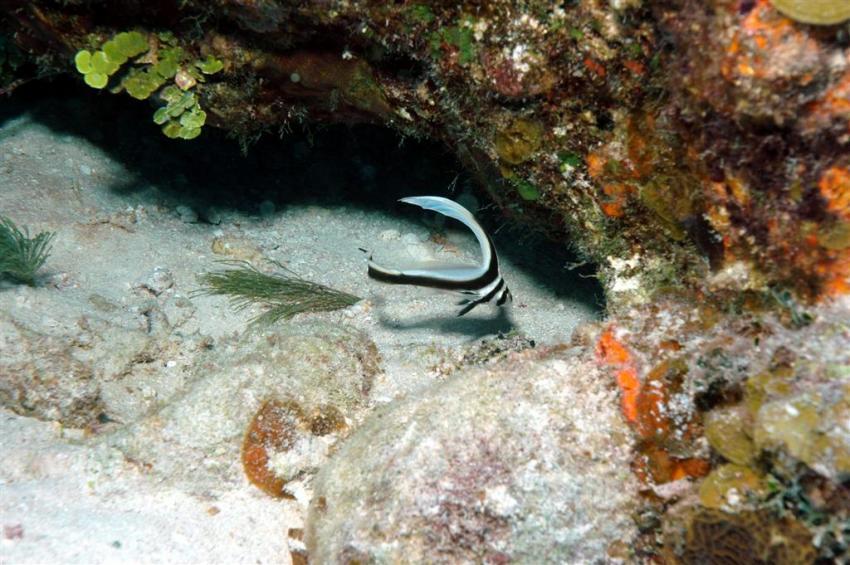 French Cay, French Cay,Turks- und Caicosinseln,Tüpfel-Ritterfisch