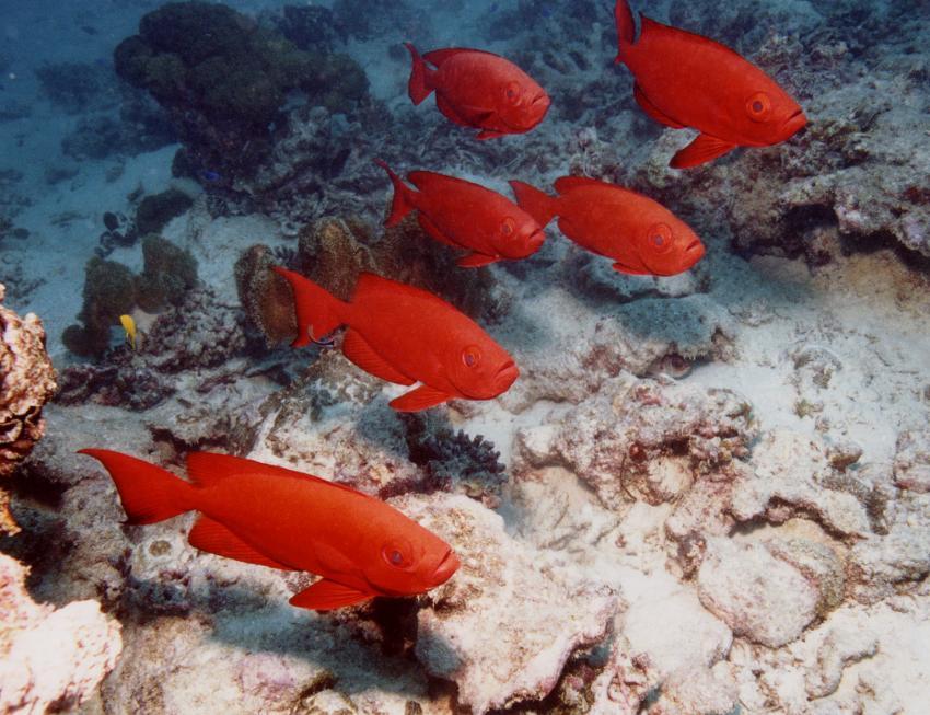 Insel Mahé, Mahé,Seychellen,Soldatenfisch
