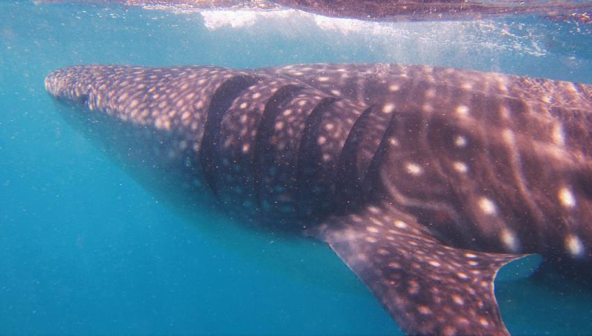 whale shark, rhincodon typus, Tofoscuba, Tofo, Mosambik
