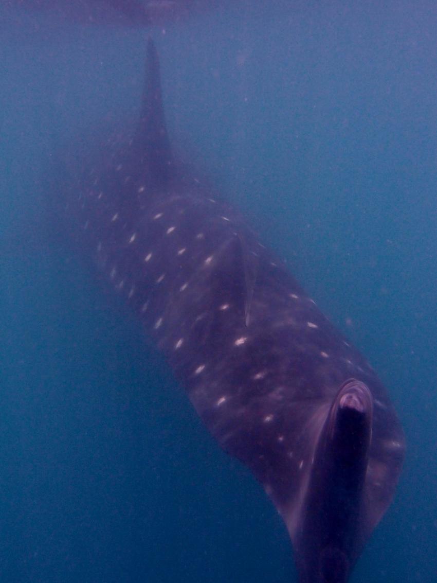 Walhaiausflug, Donsol,Bicol,Philippinen