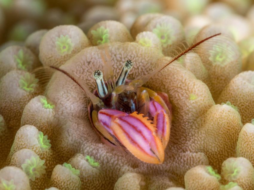 Korallen-Einsidlerkrebs, M/V Bilikiki, Salomonen