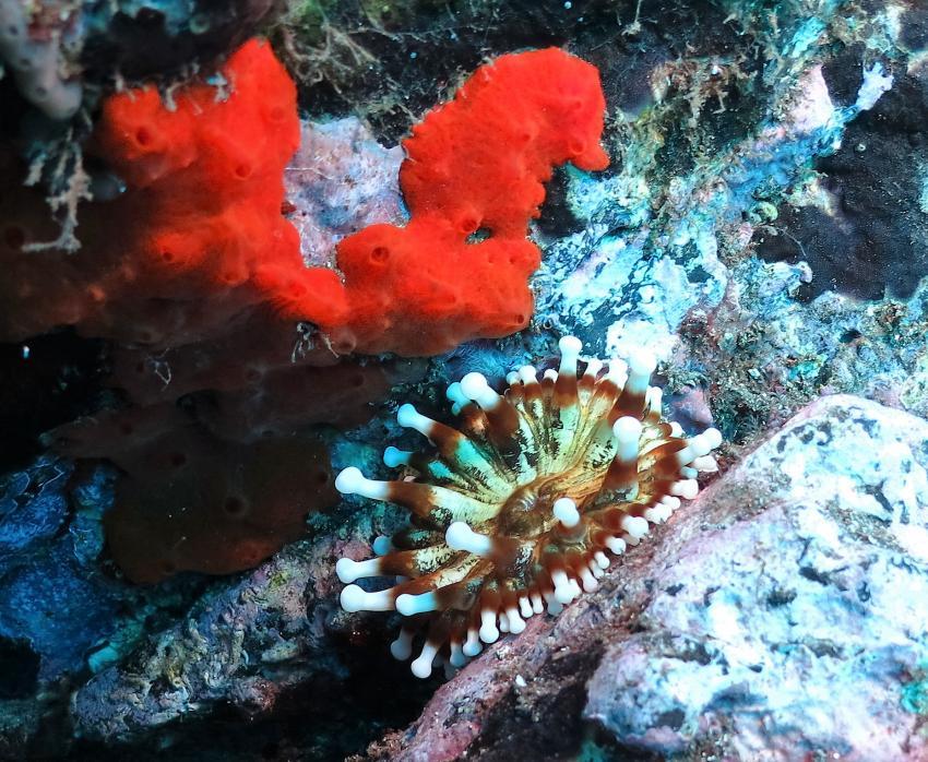 Keulenanemone, Keulenanemone, Atalaia, Atalaia Diving Center, Anemone Reef, Madeira, tauchen, Portugal