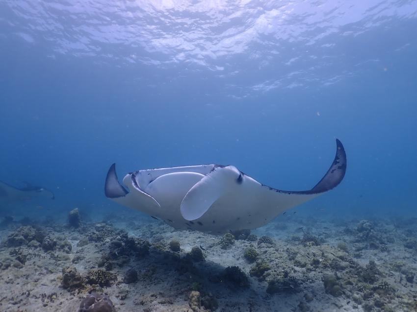Manta, Manta Ray, Rochen, Euro-Divers Meeru, Malediven