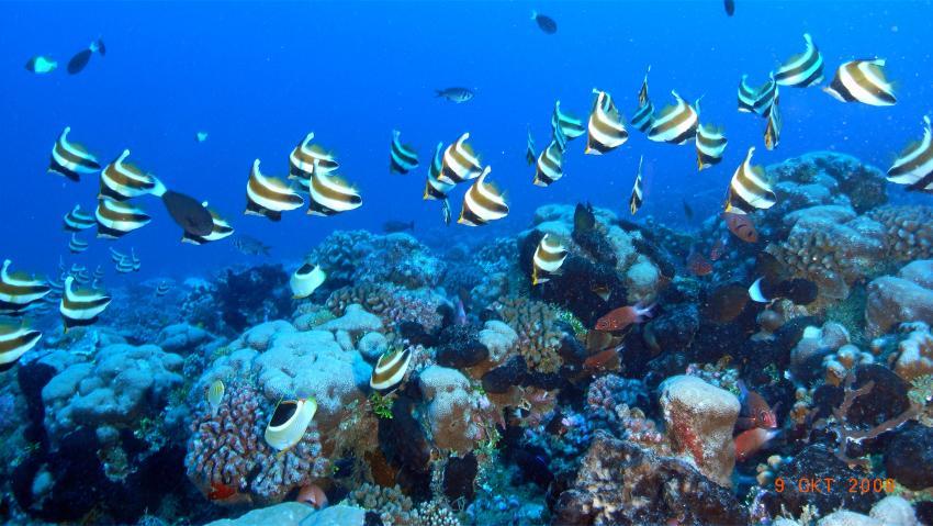 Fakarava, Fakarava,Tuamotos,Französisch-Polynesien,halfterfische