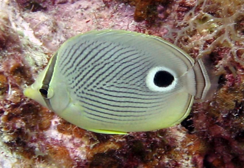 rund um West Punt, West Punt,Curaçao,Niederländische Antillen,Vieraugen-Falterfisch