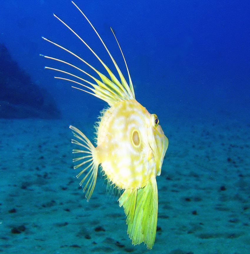 Nautic-Dive, Lanzarote, Spanien, Kanarische Inseln, zeus faber