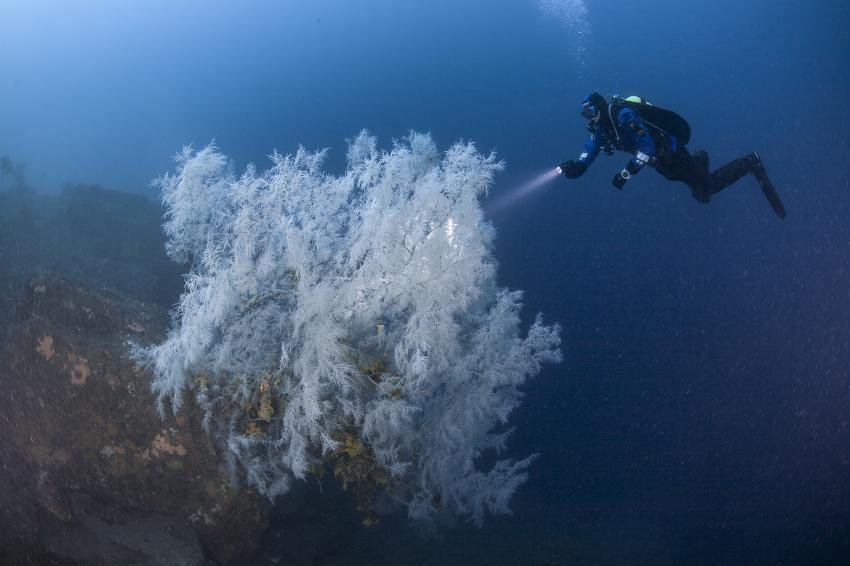 Black Coral Tree in Milford Sound, Neuseeland Milford Sound, Descend Scubadiving, Milford Sound, Neuseeland