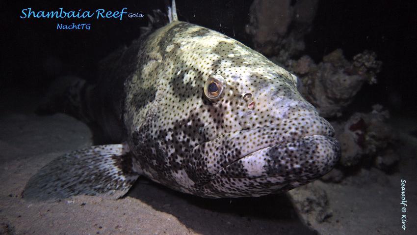 Gota Shambaia, Zackenbarsch, Sudan, Seawolf Diving Safari, Dominator, Gota Shambaia, Gota Shambaia, Sudan