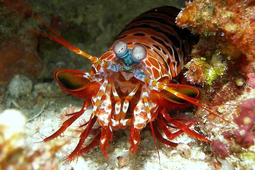 Safari Kri/Misool, Raja Ampat/ Irian Jaya,Indonesien,Mantisshrimp,Garnele,Fangschrecke