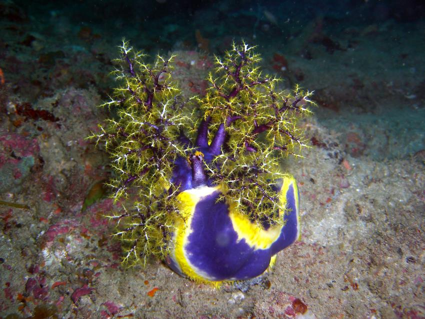 tauchen im unterwassernationalpark watamu, Watamu,Nordküste,Kenia,Seeegurke,lila