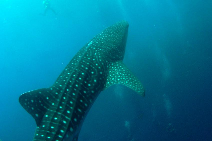 Whale Sharks in Pescador Moalboal, Moalboal,Philippinen,Whale sharks in Pescador 2.- 9.6.2012