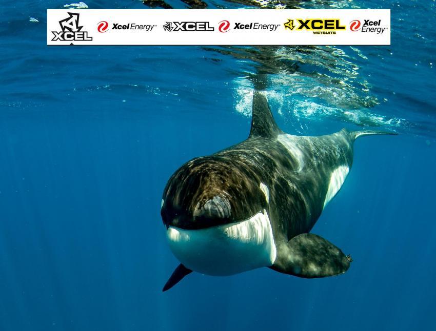 Orca beim SarDine Run, sardine run, killerwal, port elizabeth, walbeobachtung, whalewatching, Dive Expert-Tours,  Port Elizabeth, Südafrika