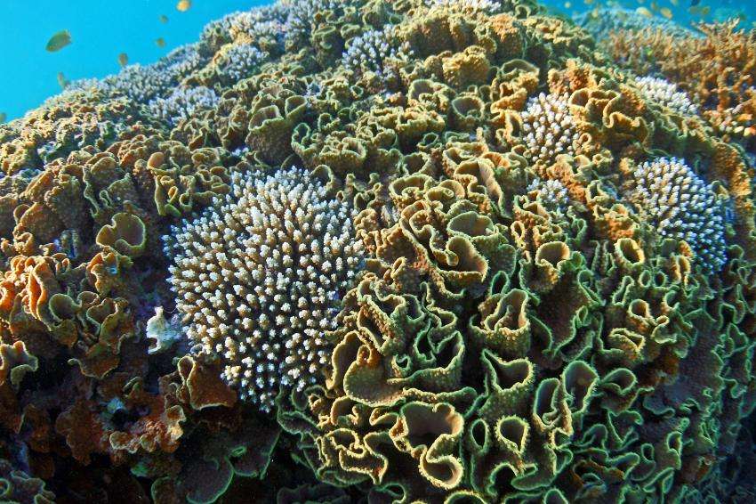 Pulau(= Insel) Sahaung (Bangka Archipel), Pulau Sahaung,Indonesien,Korallen am Hausriff in der Blue Bay
