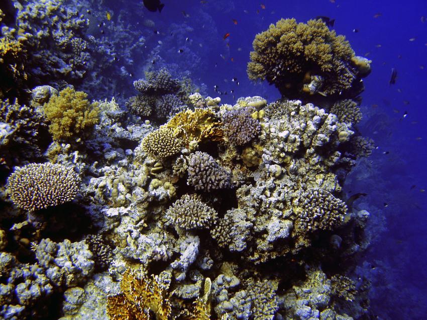 Ras Mohammed - Sharm El Sheikh, Ras Mohammed,Ägypten,Korallen,Korallenstock